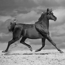 Carte Jorge Llovet - Black Horse - 14x14 cm